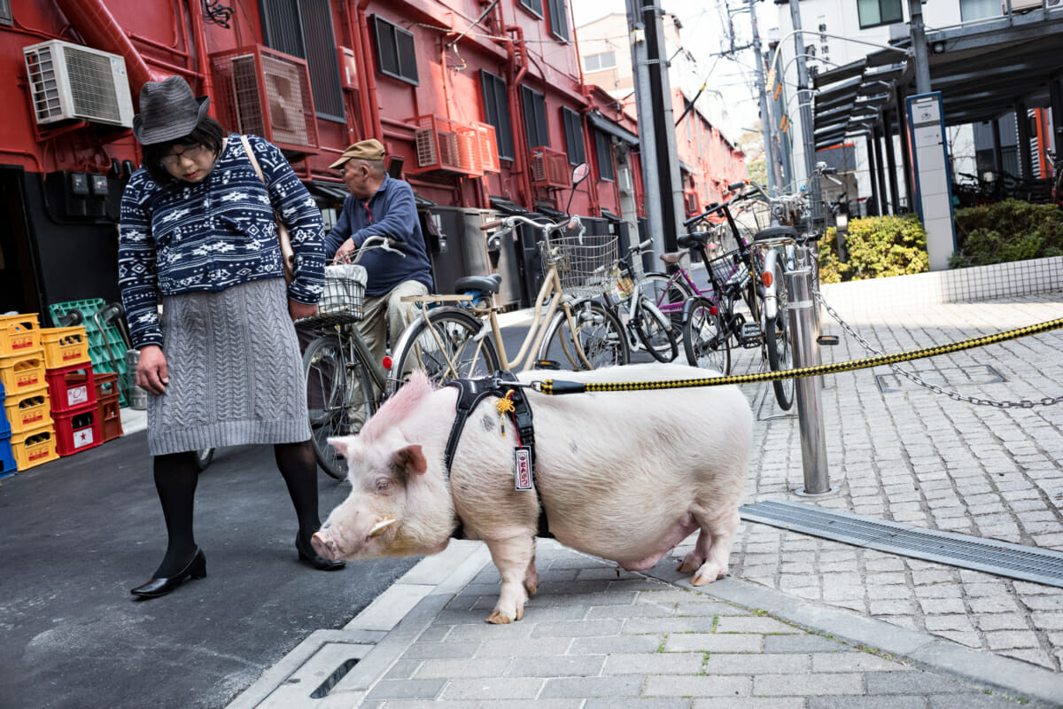 tokyo pet pig and a Japanese man in a dress